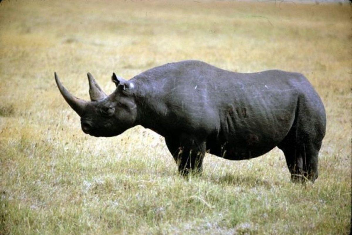 2006: Rinoceronte negro oriental (Diceros bicornis longipes) Foto:Reproducción. Imagen Por: