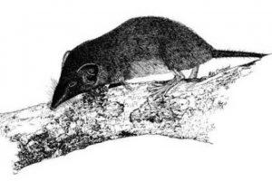 1985: Musaraña de Christmas Island (Crocidura trichura) Foto:Reproducción. Imagen Por: