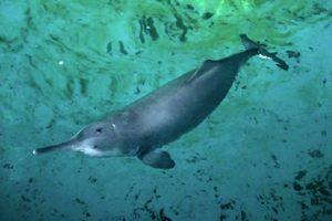 2002: Delfín del Río Yangtze (Lipotes vexillifer) Foto:Reproducción. Imagen Por: