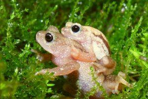 2004: Anfibio kihansi spray (Nectophrynoides asperginis) Foto:Reproducción. Imagen Por: