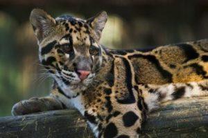 1983: Leopardo nublado de Formosa (Neofelis nebulosa brachyura) Foto:Reproducción. Imagen Por: