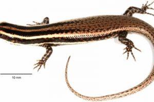 1993: Eslizón Monito (Spondylurus monitae) Foto:Reproducción. Imagen Por:
