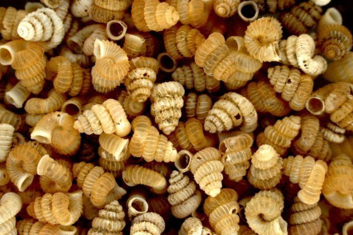 2007: Plectostoma charasense Foto:Reproducción. Imagen Por: