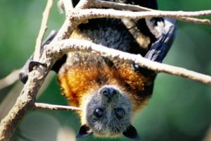 1992: Zorro volador de Aru (Pteropus aruensis) Foto:Reproducción. Imagen Por: