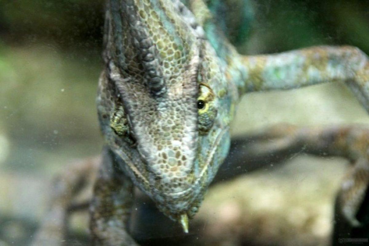 En América se llama a menudo camaleones a lagartos de la familia de los anoles, que no guardan ningún parentesco especial con los verdaderos camaleones. Foto:Wikipedia. Imagen Por: