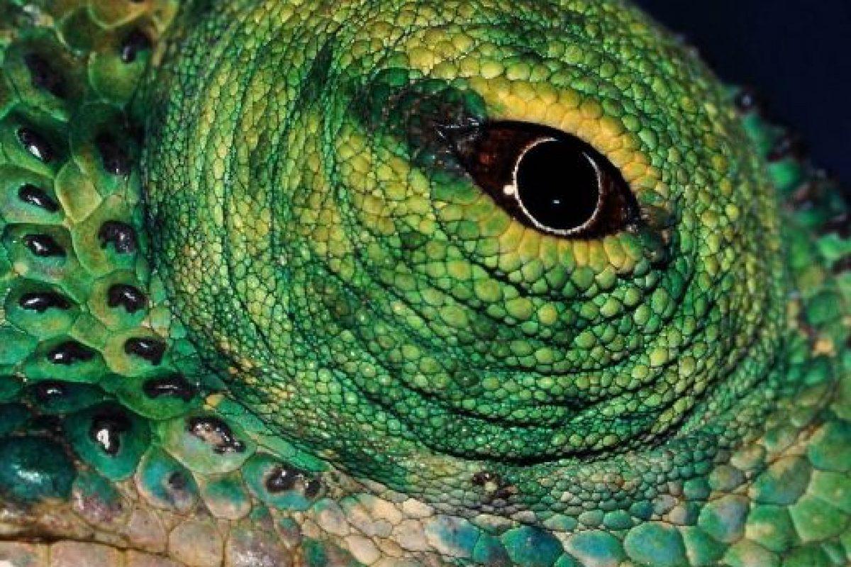 Los camaleones son una familia de pequeños saurópsidos (reptiles) escamosos. Foto:Wikipedia. Imagen Por:
