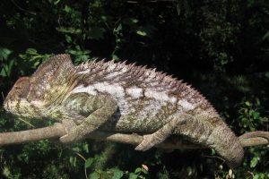 El grupo es bastante antiguo, ya que se conocen fósiles de camaleón procedentes del Paleoceno. Foto:Wikipedia. Imagen Por: