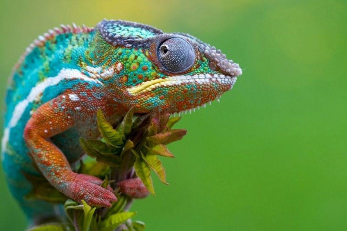 Existen cerca de 161 especies de camaleones, la mayor parte de ellas en África al sur del Sáhara. Foto:Pixabay. Imagen Por: