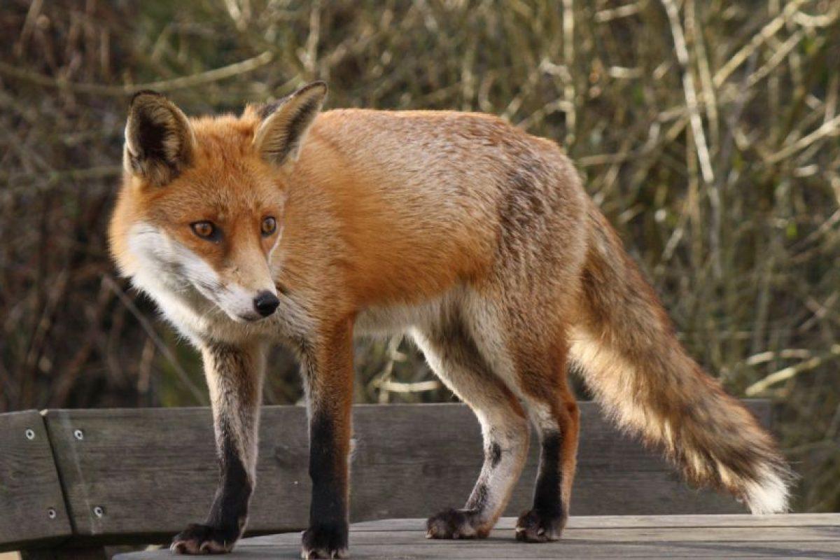 Tras el ataque de un zorro experto. Foto:Vía Wikipedia Commons. Imagen Por: