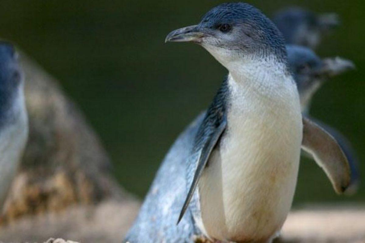Las víctimas eran pingüinos azules Foto:Vía zoo.org.au. Imagen Por: