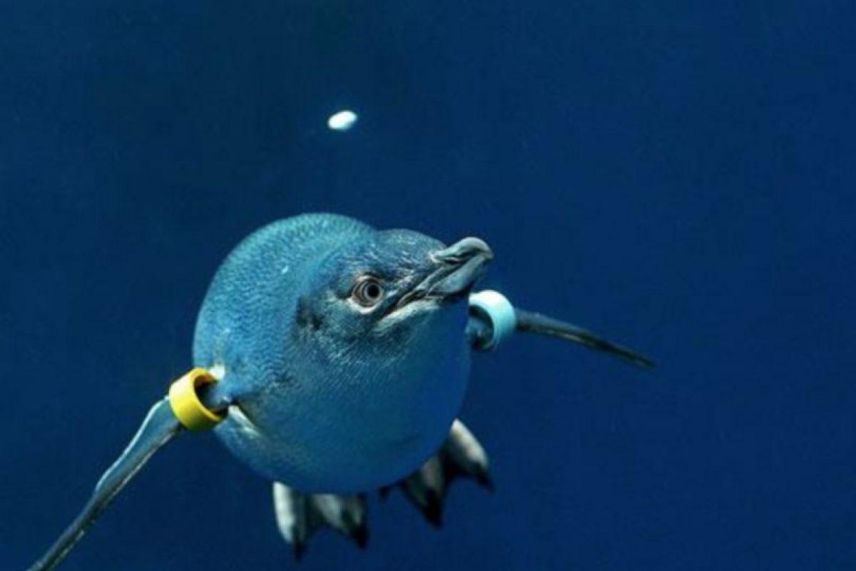 La especie más pequeña del animal. Foto:Vía zoo.org.au. Imagen Por: