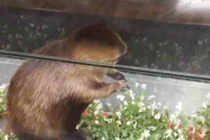 """""""Castoreum"""" es un líquido que se acumula en una glándula, entre el ano y el pene de los castores, que se usa como sustituto del aroma natural de la vainilla. Foto:vía instagram.com/_will_/. Imagen Por:"""
