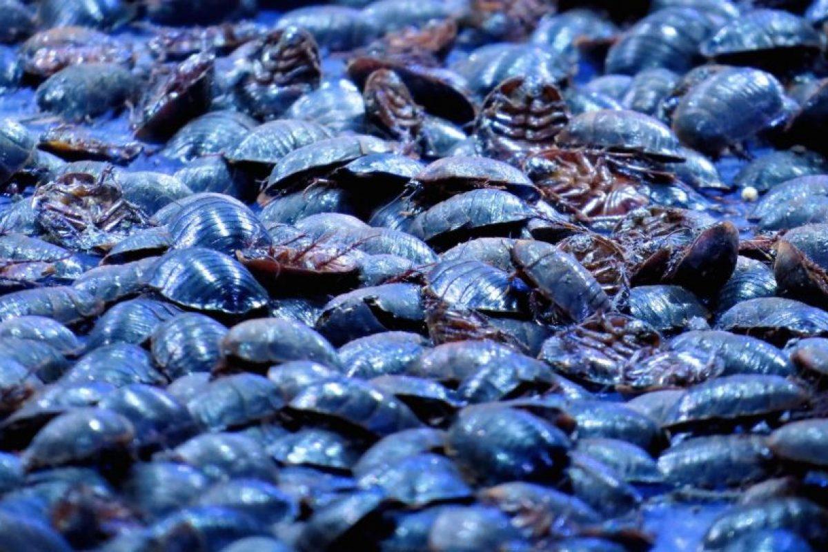 El colorante carmínico se obtiene luego de secar y triturar a las hembras de las cochinillas por exposición directa al sol o con estufas. Foto:Getty Images. Imagen Por: