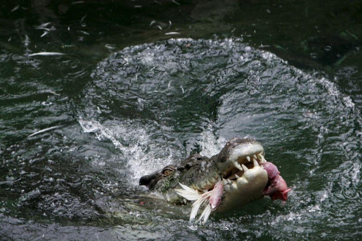 Son carnívoros y muy temibles por su voracidad Foto:Getty Images. Imagen Por:
