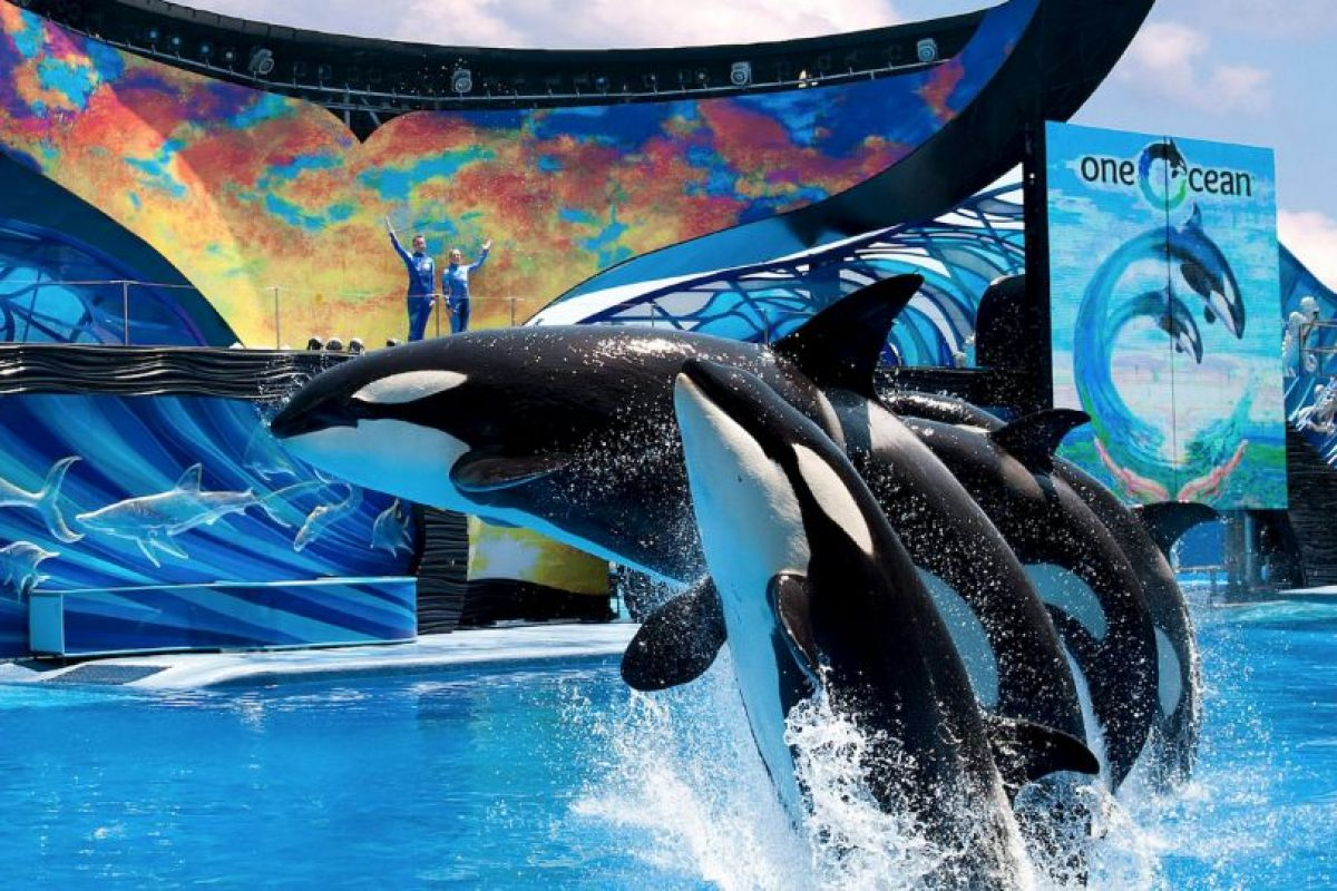En la vida salvaje se distribuyen por todos los océanos del mundo aunque prefieren las aguas templadas y frías. Foto:Vía facebook.com/SeaWorld. Imagen Por: