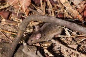 """Para evitar más crímenes por parte del raton """"narco"""" lo sacaron del penal. Foto:Vía pixabay.com. Imagen Por:"""