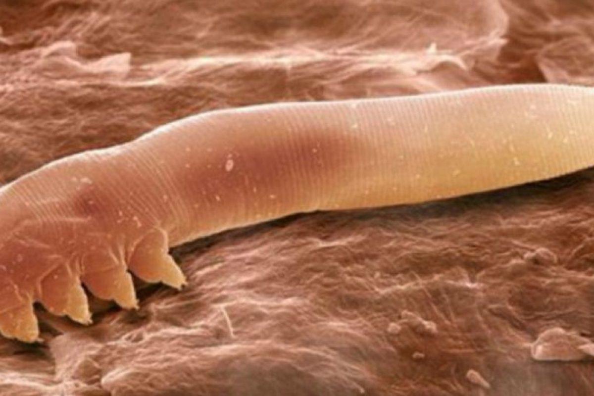 Ellos se comen su piel muerta. Que también está en forma de polvo. Foto:vía Wikipedia. Imagen Por: