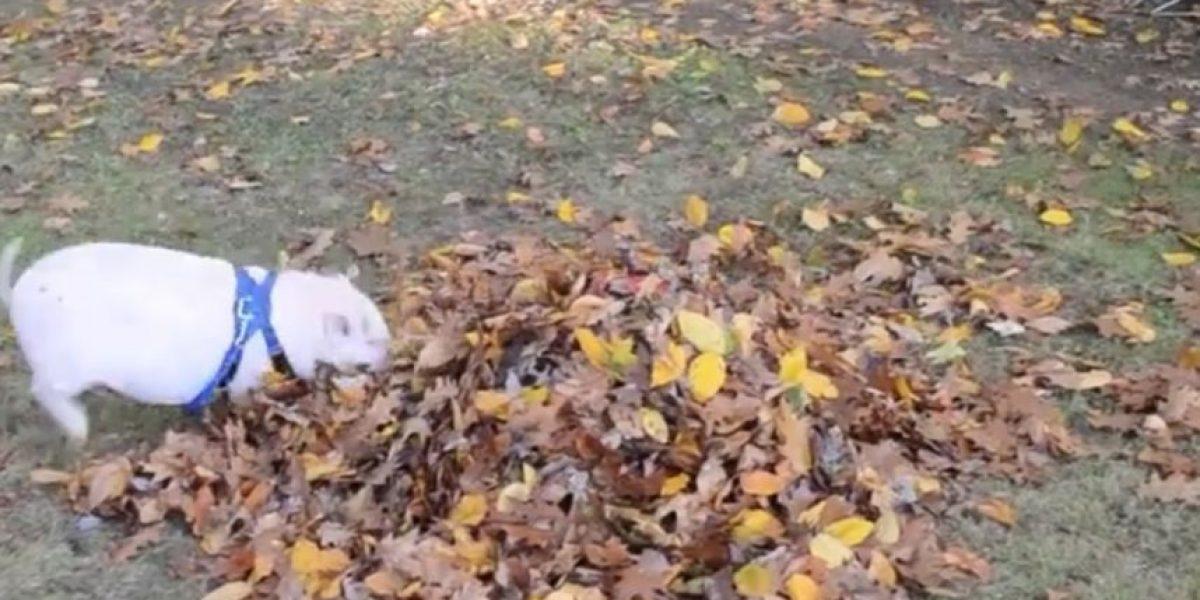 Así reacciona este tierno cerdito al jugar en el parque por primera vez