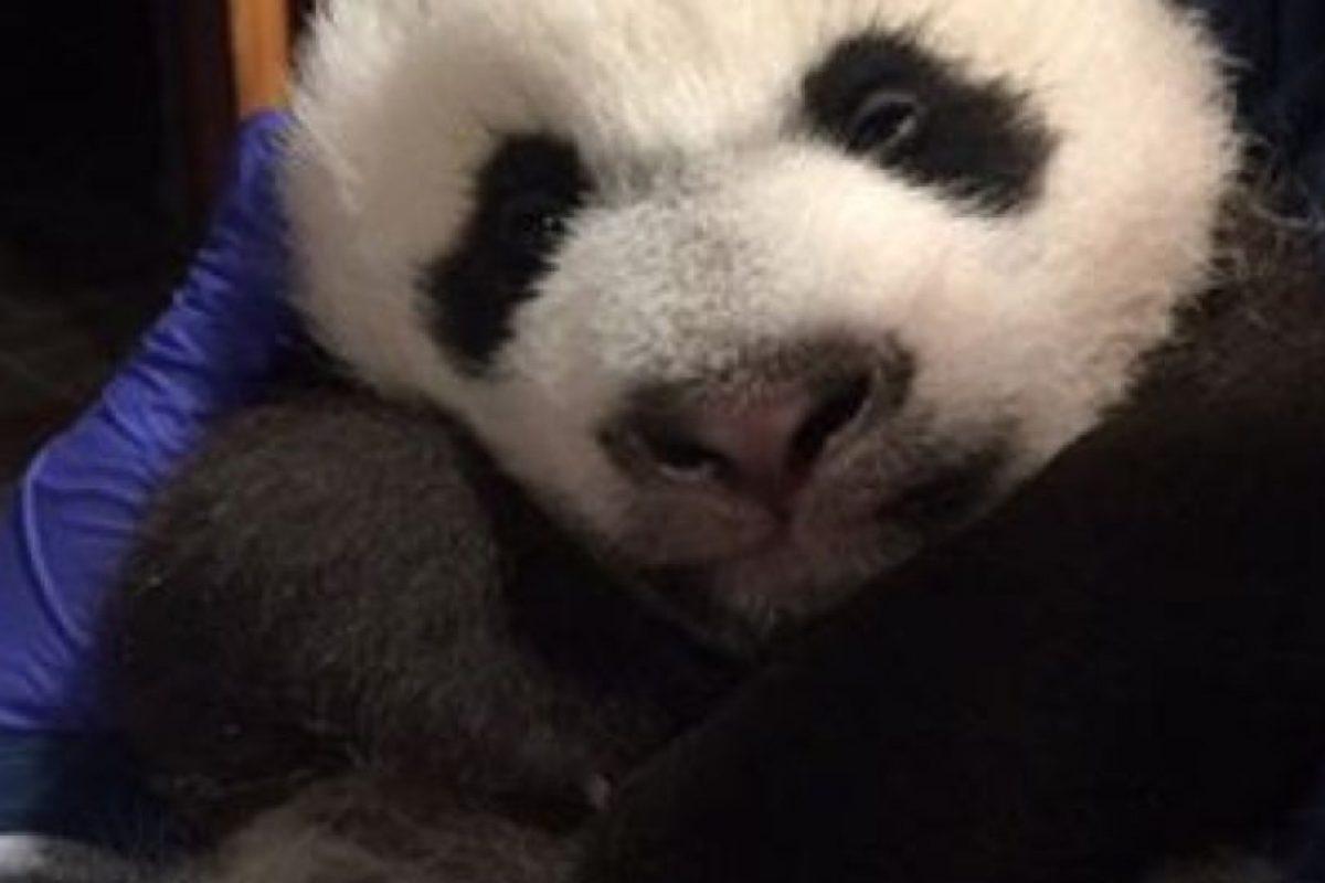 Ambos pandas son una de las mayores atracciones del zoológico. Foto:Vía facebook.com/nationalzoo. Imagen Por: