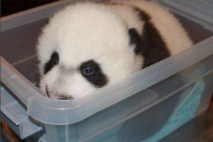 Mei Xiang, su mamá estuvo al pendiente de él en todo momento. Foto:Vía facebook.com/nationalzoo. Imagen Por: