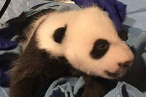 El pequeño cumplirá tres meses el próximo 22 de noviembre. Foto:Vía facebook.com/nationalzoo. Imagen Por: