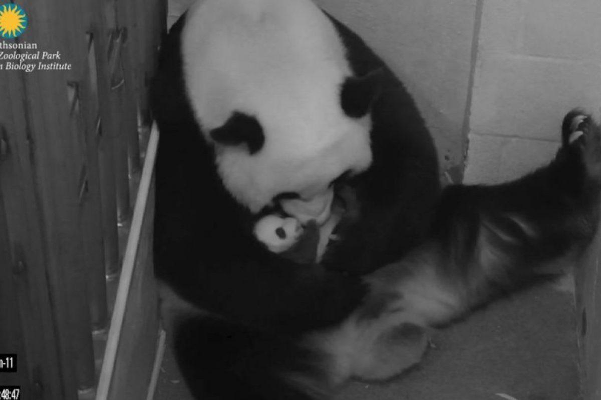 Con ayuda de los veterinarios BeiBei logró sobrevivir. Foto:Vía facebook.com/nationalzoo. Imagen Por: