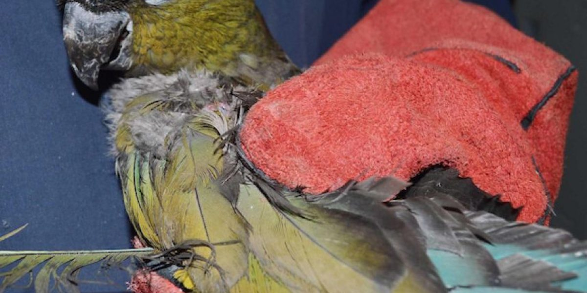 Recuperan ave en peligro de extinción en un domicilio de Alto Hospicio
