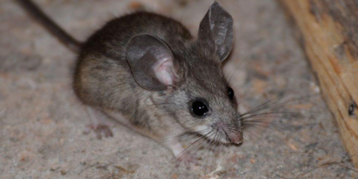 ¿Un ratón gigante marciano? Aficionados OVNI