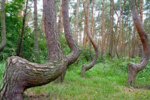 """El """"Crooked Forest"""" está localizado en Europa del Este. Foto:Wikimedia. Imagen Por:"""