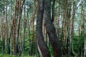 Los científicos creen que el tronco sufrió algún tipo de daño en su crecimiento. Foto:Wikimedia. Imagen Por: