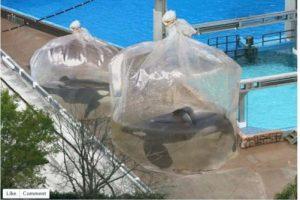 2. Ballenas son colocadas en bolsas de plástico gigantes Foto:Vía Facebook. Imagen Por: