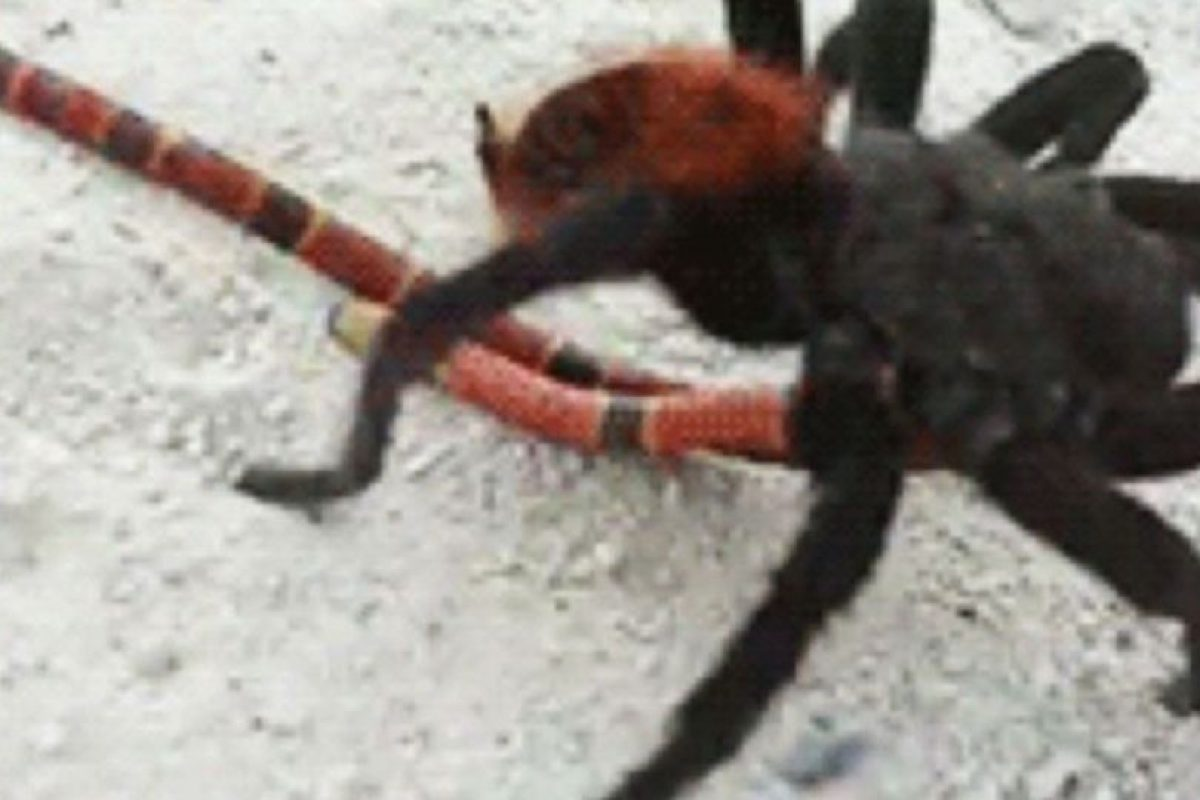 Pero hay arañas más mortíferas. Foto:vía Tumblr. Imagen Por:
