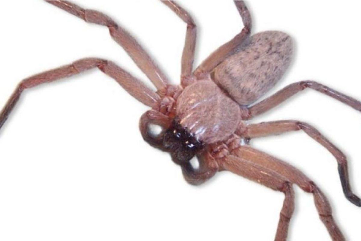Araña Ratón: también vive en Australia. Los síntomas que produce su mordedura son iguales a los de la araña embudo. La estructura celular del área infectada comienza a cambiar y esto produce un inmenso dolor en su víctima. Foto:vía Wikipedia. Imagen Por: