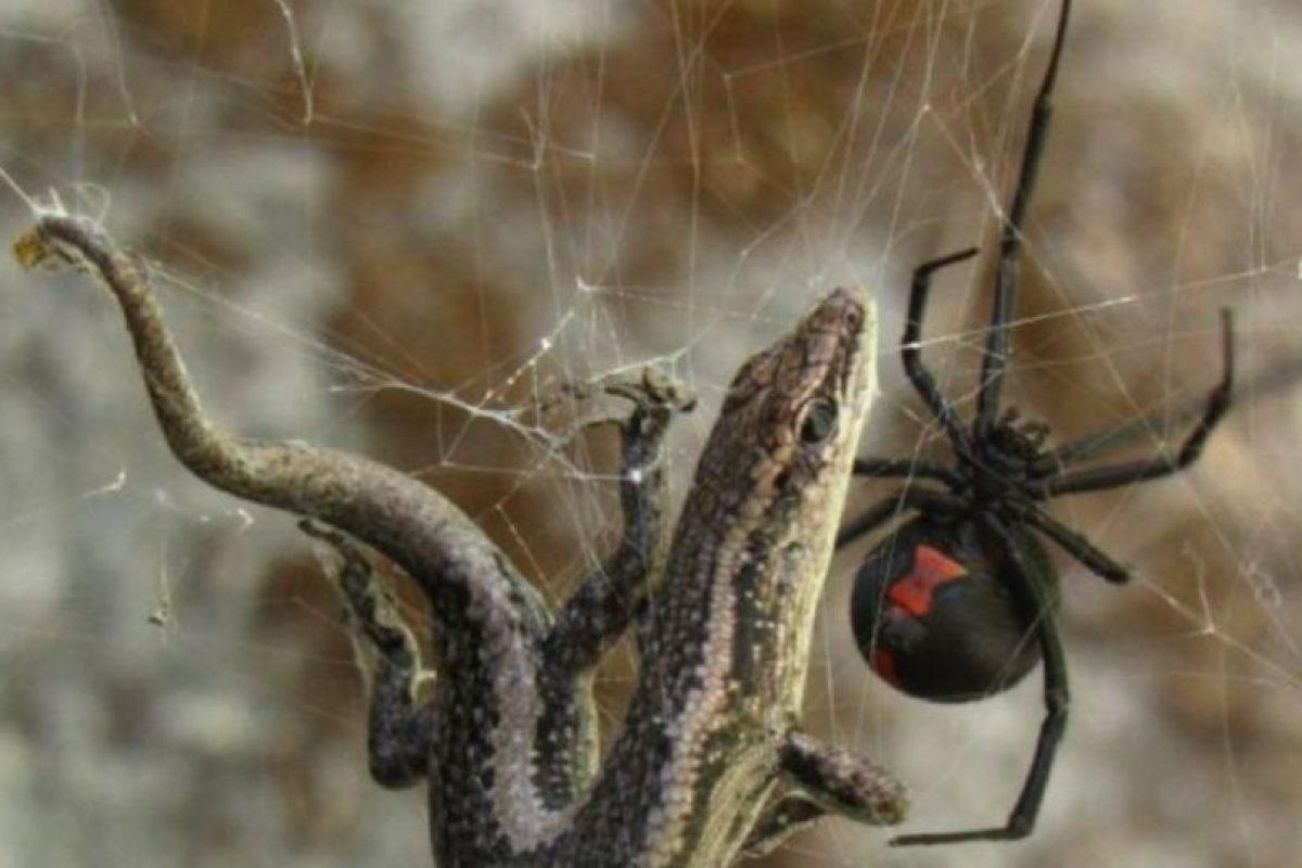 Araña espalda roja: vive en climas tropicales, aunque su lugar de origen es Australia. Suele aparecer en letrinas y es confundida con la Viuda Negra. Su veneno puede matar por asfixia y también produce tensión muscular. Foto:vía Wikipedia. Imagen Por: