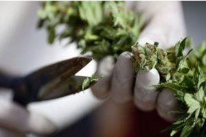 Países en los que la marihuana está más cara Foto:Getty Images. Imagen Por: