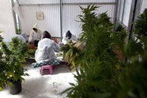 La Encuesta Nacional sobre Uso de Drogas y la Salud reveló que, en 2012, cerca de 18.9 millones de estadounidenses mayores a 12 años habían utilizado marihuana en el mes anterior al estudio. Foto:Getty Images. Imagen Por: