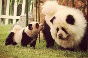 """Hsin dijo que bulldogs y labradores eran los favoritos, pero ahora están ganando terreno los """"perros panda"""". Foto:Vía Instagram/#PandaChowchowPandaChowchow. Imagen Por:"""