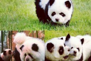 Foto:Vía Instagram/#PandaChowchowPandaChowchow. Imagen Por: