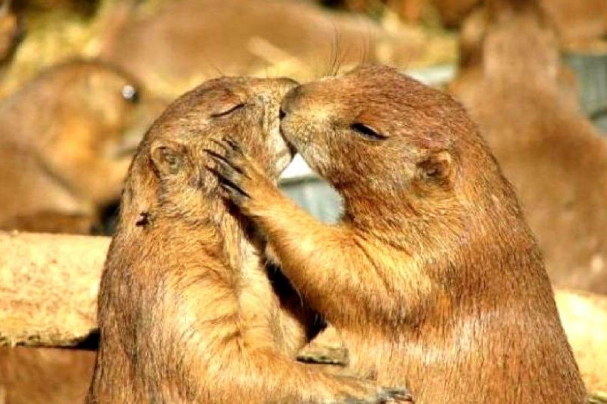 Aunque estrechamente emparentadas con las ardillas, las marmotas las superan ampliamente en tamaño y son de hábitos terrestres. Foto:worldraider. Imagen Por: