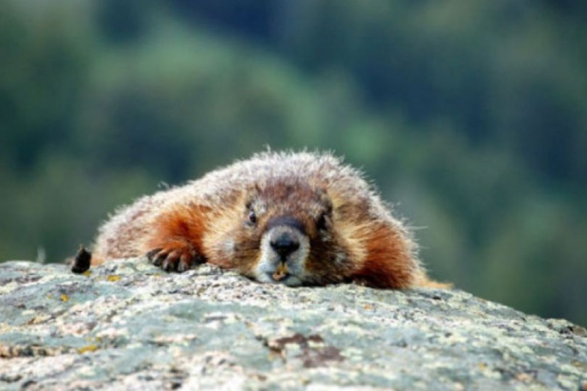 Están bien adaptadas al frío gracias a sus cuerpos rechonchos, denso pelo, orejas reducidas y gran cola. Foto:Wikimedia. Imagen Por: