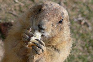 Almacenan comida e hibernan en sus madrigueras durante el invierno alrededor de 7 meses. Foto:Pixabay. Imagen Por:
