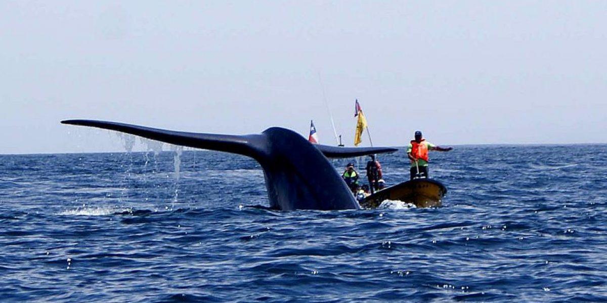 Fiscalía de Puerto Aysén inició investigación por muerte de 337 ballenas