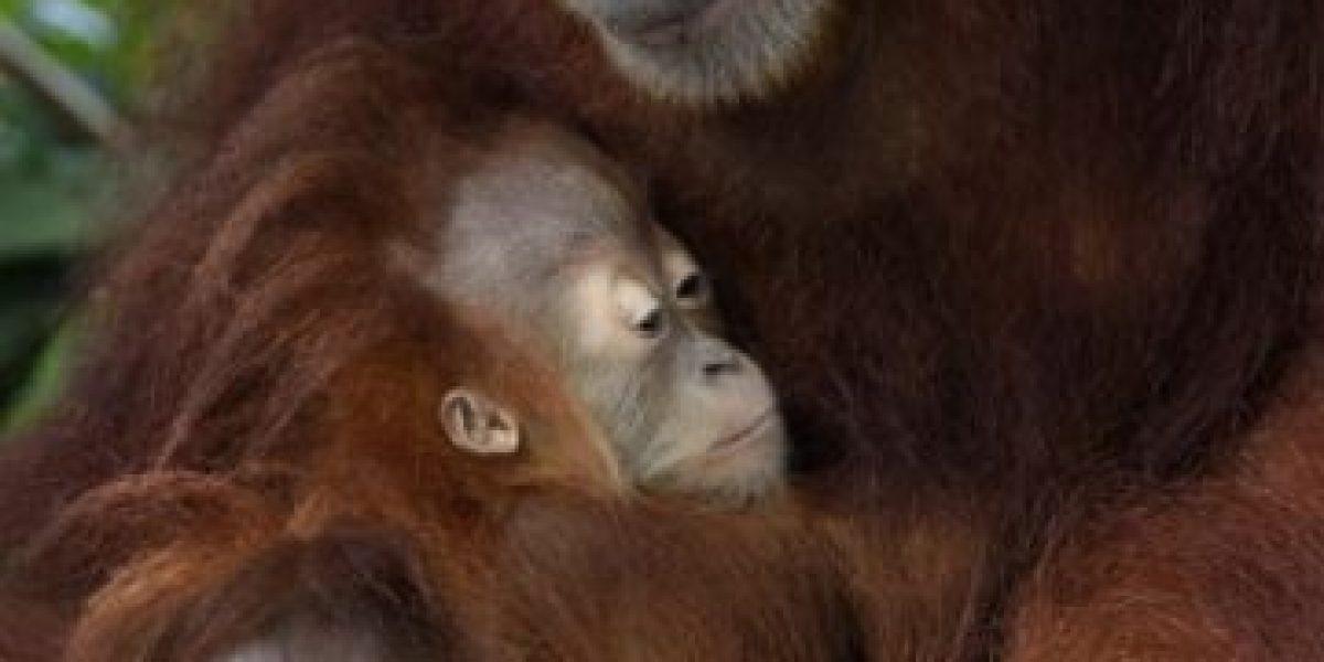 Más de la mitad de los primates en el mundo están al borde de la extinción