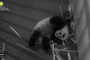 Panda bebé Foto:Vía Instagram.com/smithsonianzoo. Imagen Por: