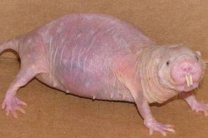 3. La rata topo desnuda, vive en África y se alimenta de tubérculos. Foto:vía RealMounstrosities. Imagen Por: