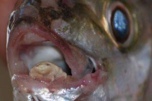 Es un parásito que vive en las lenguas de los peces. Bebe la sangre de esta parte de su cuerpo y la desintegra. Foto:vía RealMounstrosities. Imagen Por:
