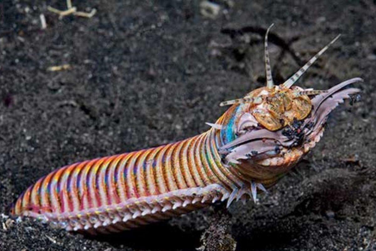 6. Gusano Bobbit: vive en el fondo del océano, enterrado en la arena. Foto:vía RealMounstrosities. Imagen Por: