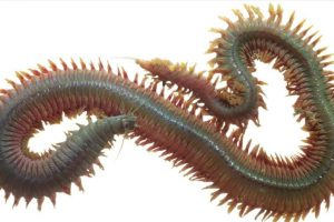 8. Neirididade. Es otro gusano submarino. Foto:vía RealMounstrosities. Imagen Por: