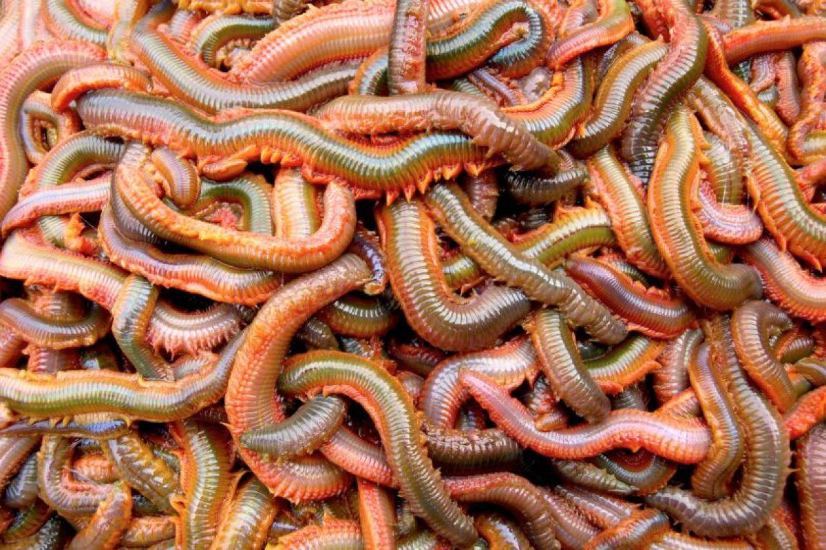 Son omnívoros. Se reproducen una vez en la vida y se los comen las aves costeras. Foto:vía RealMounstrosities. Imagen Por: