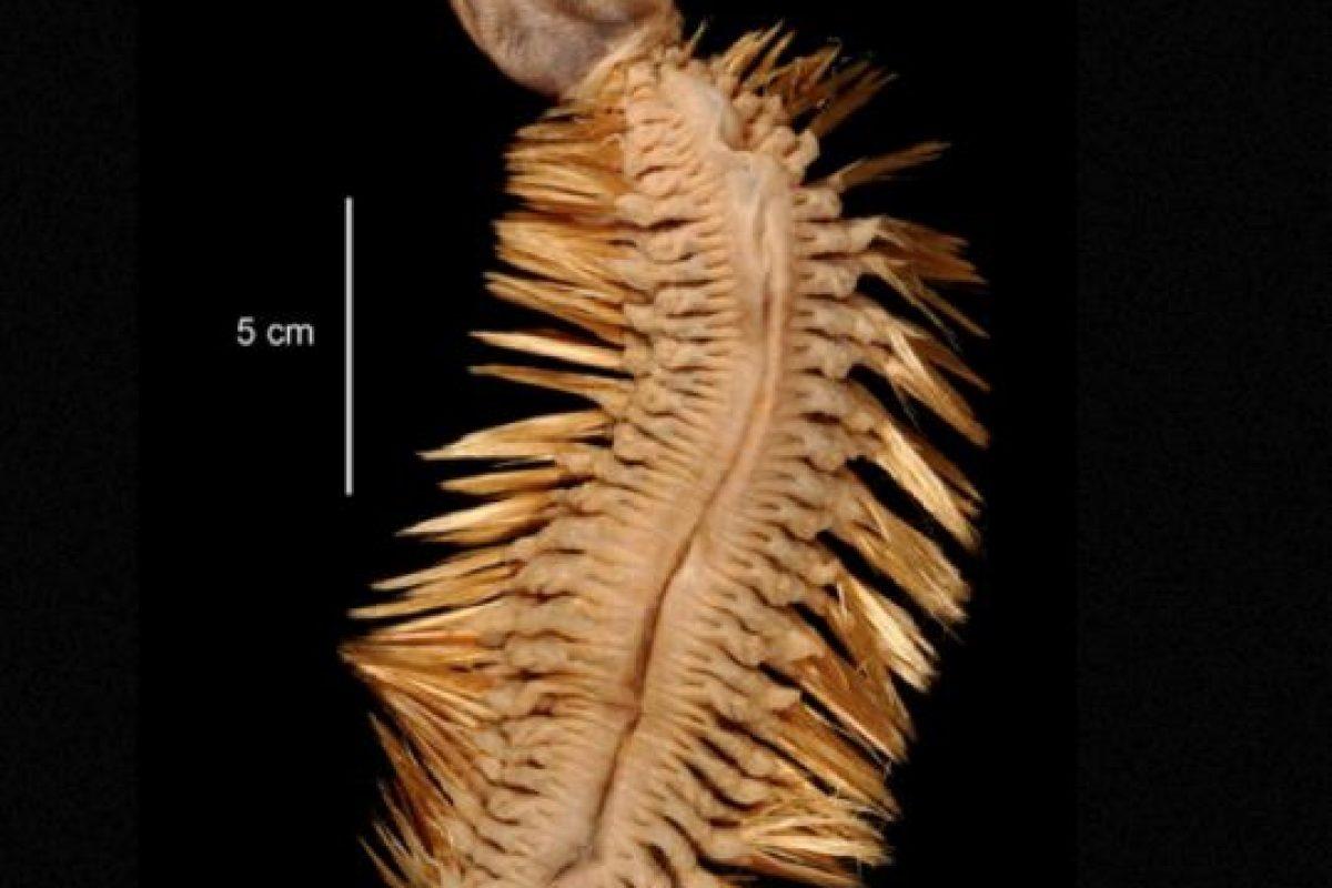 8. Eulagisca Gigantea. Vive en la Antártida. Foto:vía RealMounstrosities. Imagen Por: